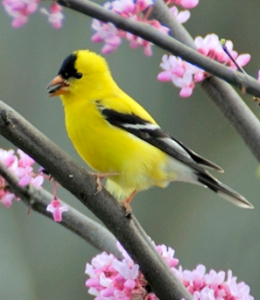 Am Goldfinch in breeding plumage