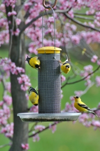 American Goldfinches (Spinus tristis) on bird feeder