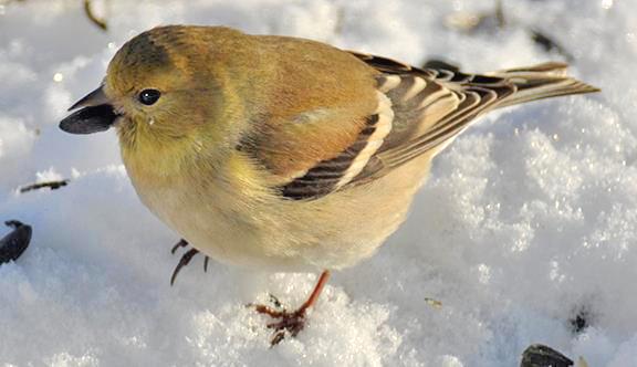 AMGO female winter