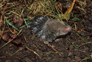 Shorttail Shrew