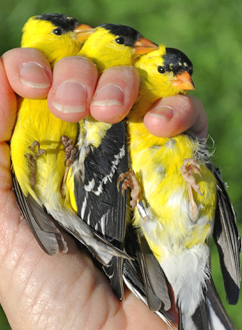Three American Goldfinches