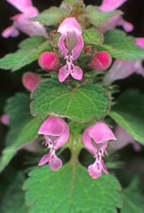 purple dead-nettle or purple henbit (Lamium purpureum) mint