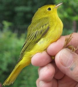 Yellow underside, greenish top