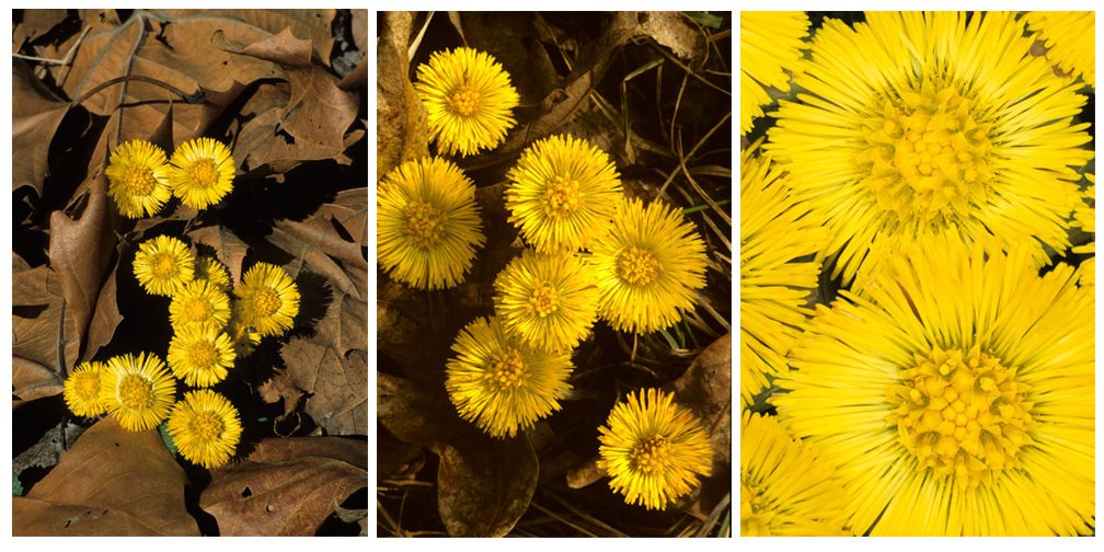Coltsfoot trio