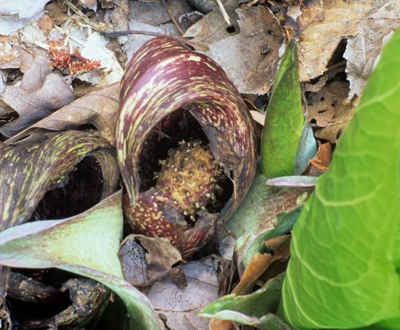skunk cabbage (Symplocarpus foeridus)