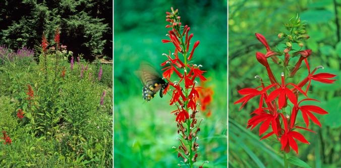 1 cardinal flower