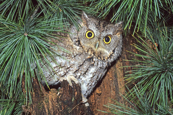 Screech owl (Otus asio) and white pine tree H