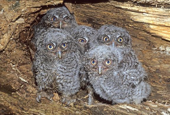 5 two week old screech owls (Otus asio)
