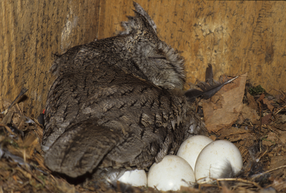 female eastern screech owl (Otus asio) incubating eggs