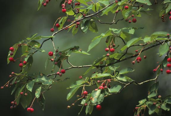 common serviceberry tree (Amelanchier arborea) fruit