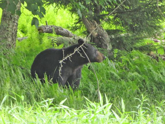 Black bear looking