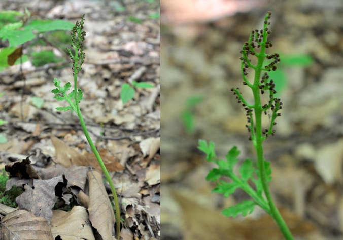 daisy-leaf moonwort double