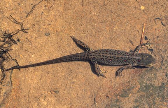 red-spotted newt salamander (Notophthalmus viridescens viridesce