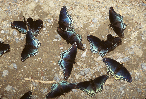 red-spotted purple butterflies (Basilarchia astyanax) puddling