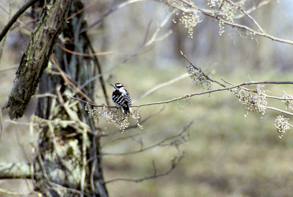 downy woodpecker (Dendrocopos pubescens) on poison ivy branch wi